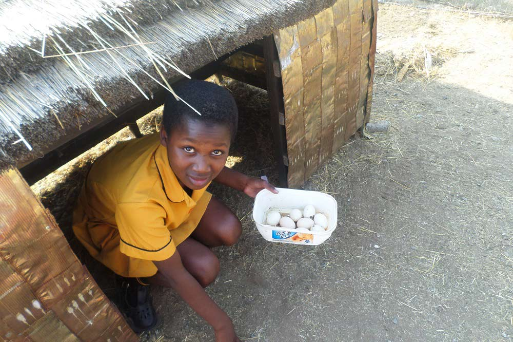 Récolte des œufs au poulailler de Roosboom