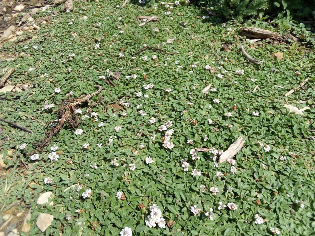 Couvre Sol Croissance Rapide couvre sol – transjardins